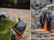 Avustralya'da kangurulara helikopterden havuç atıldı
