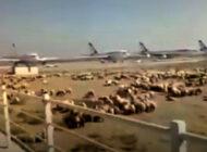 Tahran Mehrabad Havalimanı'nı koyunlar bastı